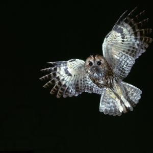 Tawny Owl in Flight by CM Dixon