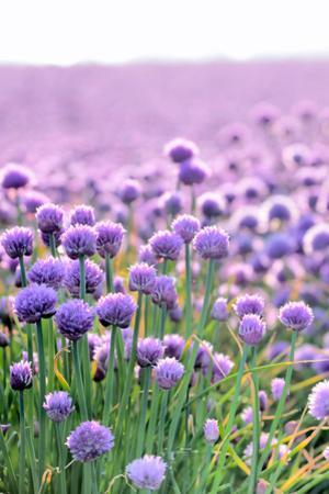 Lush Blooming Chives Field by cmfotoworks