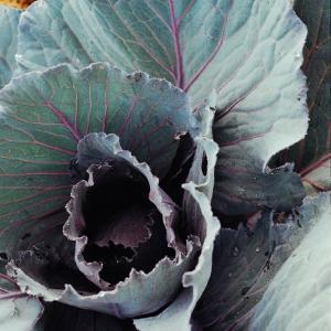 Close-Up of Pesticide-Free, Dew-Covered Cabbage Leaves with Worn Holes, Raised Organically by Co Rentmeester