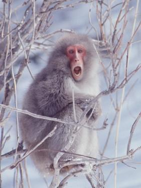 Japanese Macaques in Shiga Mountains of Japan by Co Rentmeester