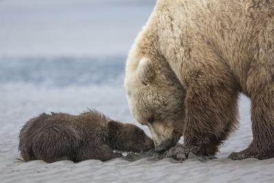 https://imgc.allpostersimages.com/img/posters/coastal-grizzly-bear-cub-begs-for-a-clam-lake-clark-national-park-alaska_u-L-Q1CZSU30.jpg?p=0