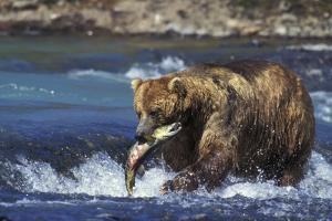 Coastal Grizzly Bear with Salmon in Mouth
