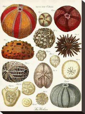 Sea Urchins by Coastal Print & Design