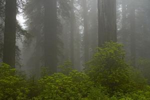 Coastal Redwood Forest in Fog