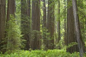 Coastal Redwood Forest, Stout Grove