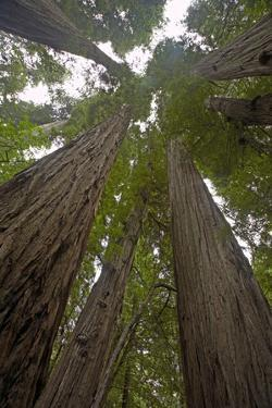 Coastal Redwood Forest, View of Trunks to Canopy