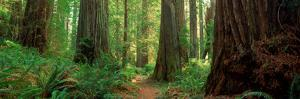 Coastal Sequoia Trees in Redwood Forest in Northern California, USA