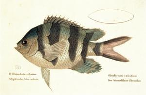 Cobra Fish, from group of color lithographs of fishes animals, 1830.
