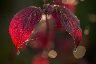 https://imgc.allpostersimages.com/img/posters/cobweb-with-dewdrops-on-red-leaves-dark-background-with-bokeh_u-L-Q1EXW2Q0.jpg?artPerspective=n