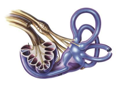 Cochlea Detail with Vestibulocochlear Nerve