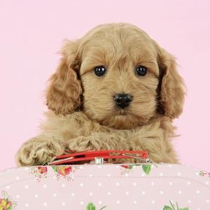 Cockerpoo Puppy (7 Weeks Old) with Pink Background