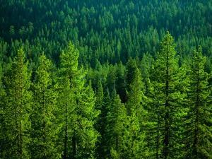 Pine Forest in Yosemite National Park by Cody Wood