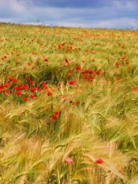 Poppies in Field II by Colby Chester