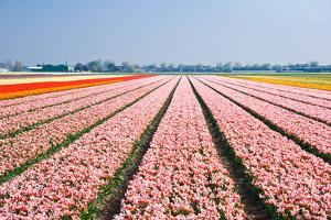 Pink Tulipfields in Spring by Colette2