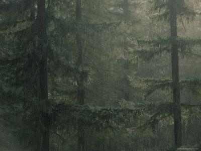 Fir Trees in Rain, Oregon, United States of America, North America