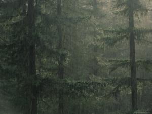 Fir Trees in Rain, Oregon, United States of America, North America by Colin Brynn