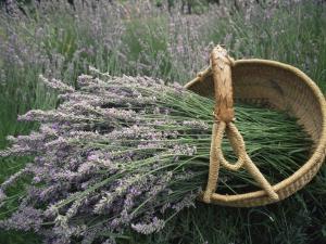 Lavender Harvest, Vashon Island, Washington State, United States of America, North America by Colin Brynn