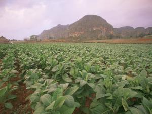 Tobacco Plantation, Cuba, West Indies, Central America by Colin Brynn