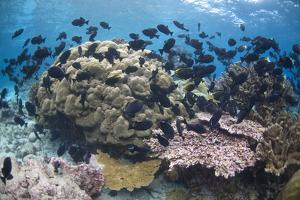 Coral reef habitat, with triggerfish school, Perpendicular Wall dive site, Christmas Island by Colin Marshall