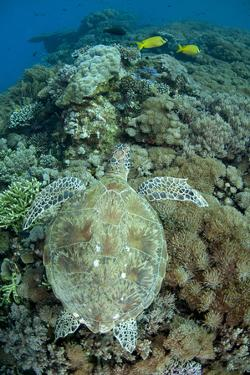 Green Sea Turtle (Chelonia mydas) adult, swimming over coral reef, near Komodo Island by Colin Marshall