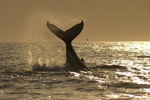 Humpback Whale (Megaptera novaeangliae) adult, offshore Port St. Johns by Colin Marshall