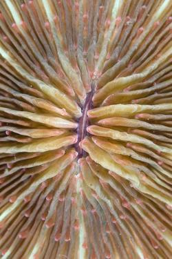 Mushroom Coral (Fungia scutaria) detail, Lembeh Island, Sulawesi, Indonesia by Colin Marshall