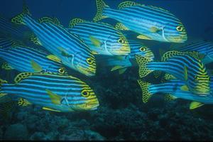 Oriental Sweetlip (Plectorhinchus orientalis) Group swimming, close-up, Vella Pass, Vadoo by Colin Marshall