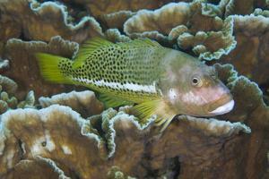 Ornate Hawkfish (Paracirrhites hemistictus) adult, resting on coral, Christmas Island, Australia by Colin Marshall