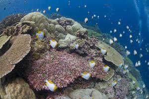 Pyramid Butterflyfish (Hemitaurichthys polylepis) shoal, Christmas Island by Colin Marshall
