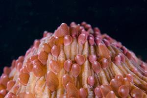 Red Disc Coral (Fungia sp.) polyps, Lembeh Straits, Sulawesi, Sunda Islands by Colin Marshall