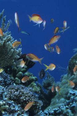Redfin Anthias (Pseudanthias dispar) Eastern Bay, Batu Montjo, Komodo Island, Indonesia by Colin Marshall