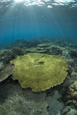 Table Coral (Acropora sp.) in reef habitat, Ameth Point, Nusa Laut, near Ambon Island by Colin Marshall