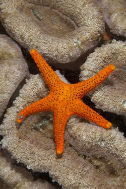 Thousand-pores Starfish (Fromia milleporella) adult, on coral, Lembeh Straits, Sulawesi by Colin Marshall