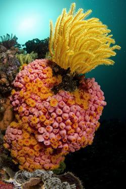 Yellow Coral (Tubastrea faulkneri) and yellow crinoid in reef habitat, Horseshoe Bay, Rinca Island by Colin Marshall