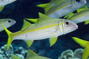 Yellowfin Goatfish (Mulloidichthys vanicolensis) adults, shoal swimming, Barat Daya Islands by Colin Marshall