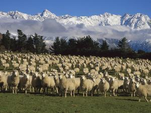 Domestic Sheep (Ovis Aries) in the Southern Alps, Rakaia River Valley, Canterbury, New Zealand by Colin Monteath/Minden Pictures