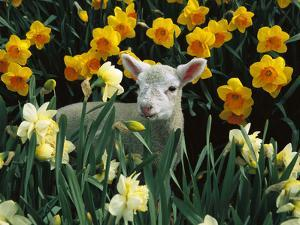 Domestic Sheep (Ovis Aries) Lamb Among Spring Daffodils (Narcissus Sp) Canterbury, New Zealand by Colin Monteath/Minden Pictures