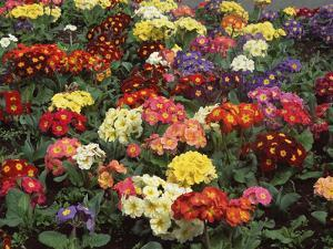 Primrose (Primula Vulgaris) Flowers in Ornamental Garden, Christchurch, New Zealand by Colin Monteath/Minden Pictures