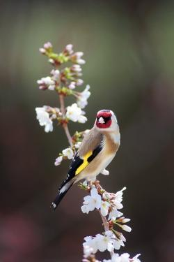Goldfinch by Colin Varndell
