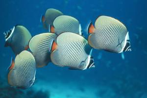 Collared Pakistan Butterfly Fish
