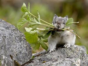 Collared Pika (Ochotona Collaris) Taking Food to a Cache, Hatcher Pass, Alaska