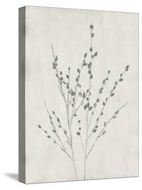 Floral Wild - Salix Discolor by Collezione Botanica