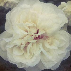 Ivory Petals by Collezione Botanica