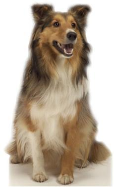 Collie Dog Standup