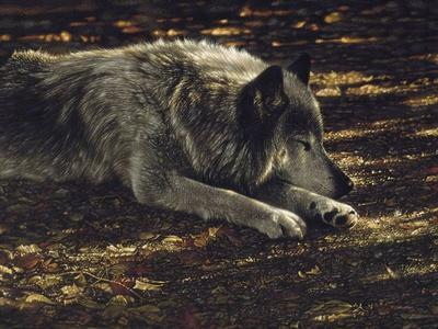 Nature/'s Cover by Collin Bogle Animal Wolf Wolves Print Poster 14x24