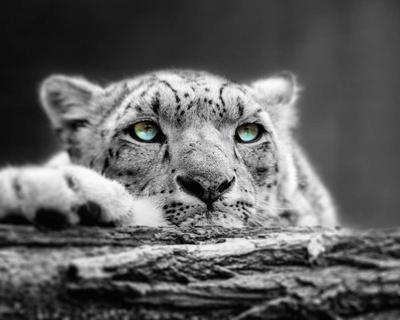 Pop of Color Snow Leopard Eyes