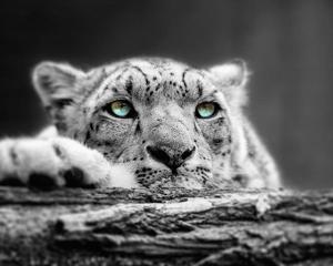 Pop of Color Snow Leopard Eyes by Color Me Happy