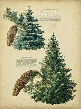 Colorado Blue Spruce &Norway Spruce