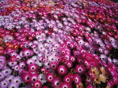 https://imgc.allpostersimages.com/img/posters/colorful-flowers-in-iceland_u-L-PZSAL50.jpg?p=0