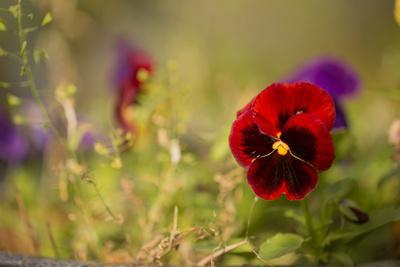 https://imgc.allpostersimages.com/img/posters/colorful-pansy-in-autumn-garden_u-L-Q1EXSSI0.jpg?artPerspective=n